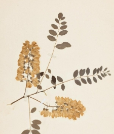 Robinia pseudoacacia L. f. decaisneana Carr. subf. angustifolia