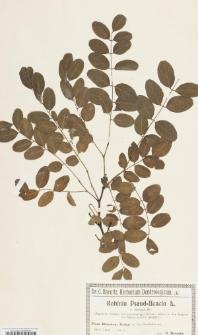 Robinia pseudoacacia L. var. tortuosa DC.