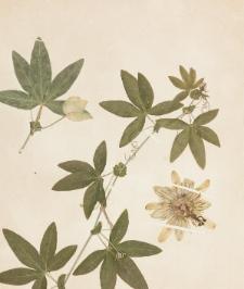 Passiflora coerulea L.