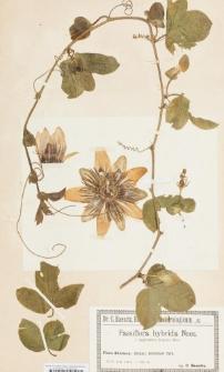 Passiflora hybrida f. Impératrice Eugénie Hort.