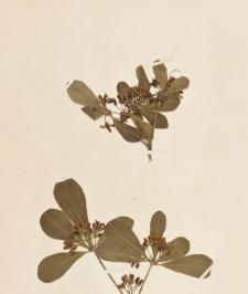 Pittosporum tobira (Dryand.) Aiton