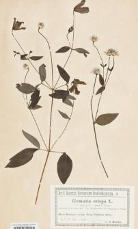 Clematis crispa L.