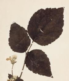 Clematis heracleifolia DC. var. davidiana Decaisne