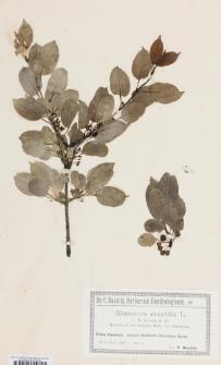 Rhamnus saxatilis Jacq. subsp. tinctorius (Waldst. & Kit.) Nyman