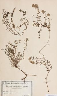 Thymus dalmaticus (Rchb.) Freyn