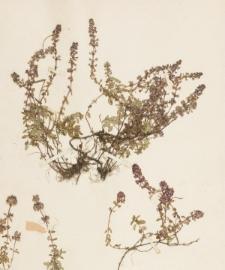 Thymus ovatus Mill.