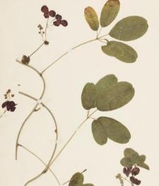 Akebia quinata (Houtt.) Decne.