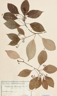 Camphora officinalis N. v. E.