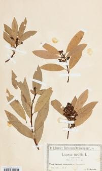 Laurus nobilis L. f. angustifolia