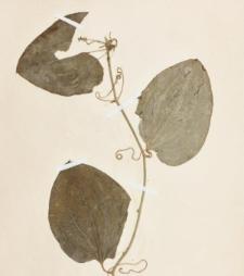 Smilax rotundifolia L.