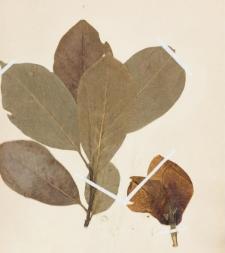 Magnolia obovata Thunbg. f. denudata Lam.