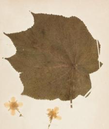 Sparmannia africana L.f.