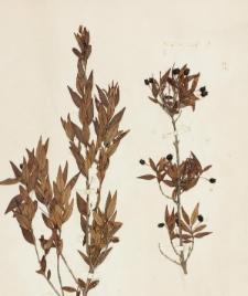Myrtus communis L. f. lanceolato-acuminata
