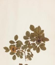 Rosa glauca Vill. x graveolens Gren.