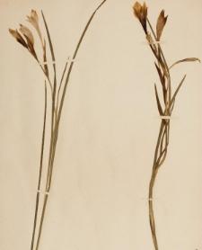 Acidanthera pauciflora