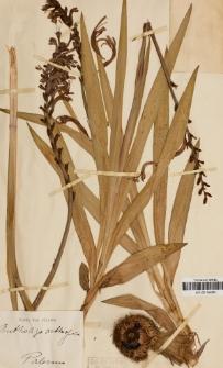 Antholyza aethiopica