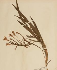 Babiana tubiflora