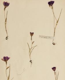 Geissorhiza rochensis