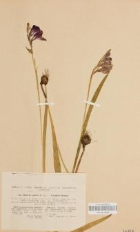 Gladiolus apterus