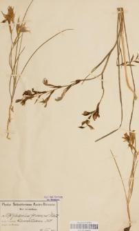 Gladiolus formosus