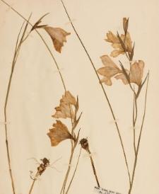 Gladiolus ornatus
