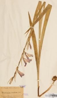 Gladiolus segetum