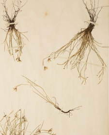 Sisyrinchium angustifolium