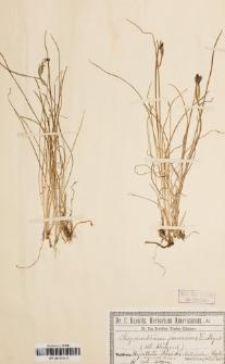Sisyrinchium junceum