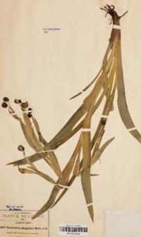 Sisyrinchium platyphyllum