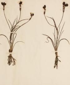 Sisyrinchium tenuifolium