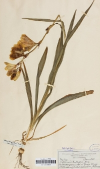 Sparaxis bulbifera