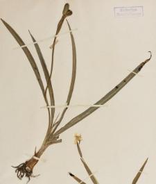 Xanthocromyon herbertii