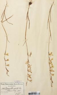 Hesperantha radiata