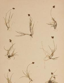 Carex bicolor All.