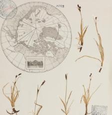 Carex bigelowii Torr.