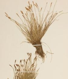 Carex davalliana Smith