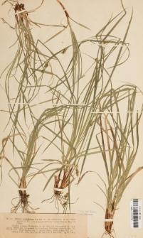 Carex ventricosa Curtis