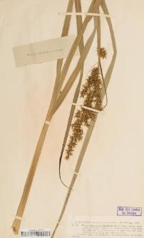 Carex crus-corvi Shuttleworth