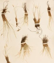 Carex elynoides Holm.