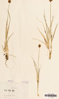 Carex festiva Dewey