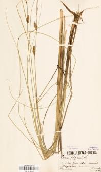 Carex filiformis L.