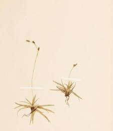 Carex firma Host