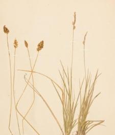 Carex gayana Desv.