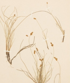 Carex glareosa Wg.