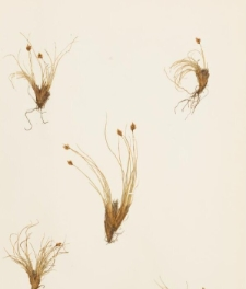 Carex hepburnii Boott