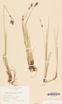 Carex adelostoma V.I. Krecz.
