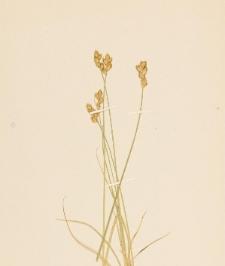Carex adusta Boott.