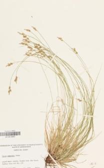 Carex emmonsii Dewey