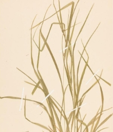 Carex amphibola var. turgida Fernald