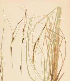 Carex aquatilis Wahlenb.